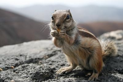 31-ecureuildebarbari