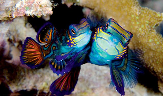 Beautiful Mandarin fish