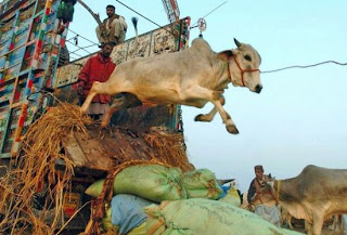 Cow sacrificing during Eid Ul Azha in Bangladesh