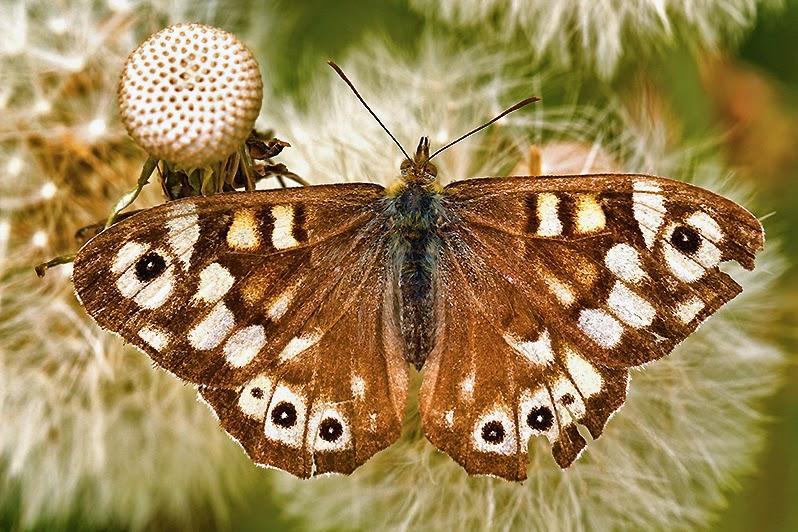 Schmetterlinge - Schmetterlingsfotos - Augenfalter - Waldbrettspiel