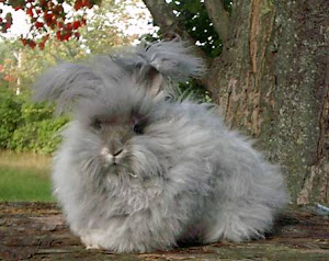 English Anggora Rabbit