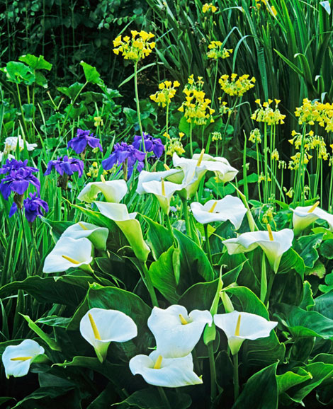 A silk flower depot blog language of flowers calla for Calla lily flower meaning