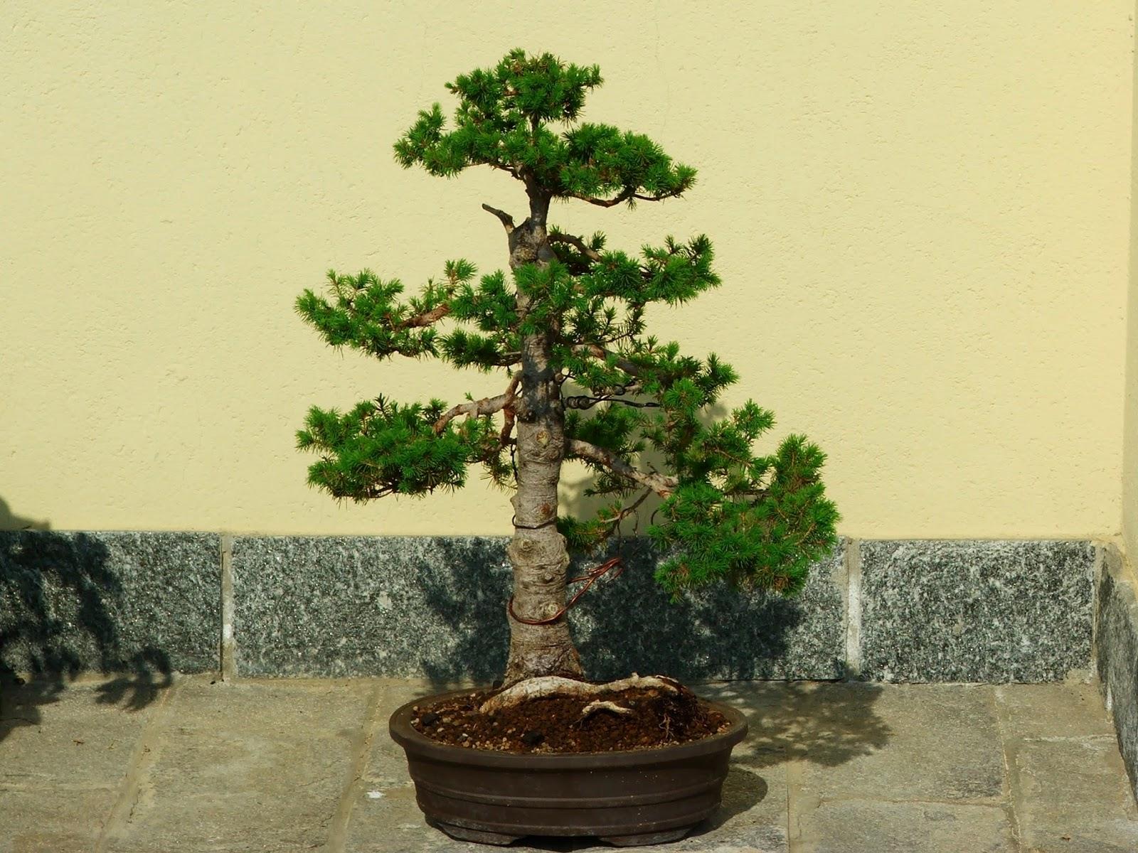 Evoluzione bonsai bonsai di picea glauca albertiana for Dove comprare bonsai