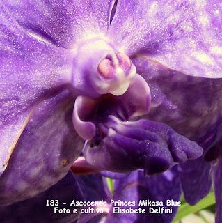 Ascocenda Princes Mikasa Blue do blogdabeteorquideas