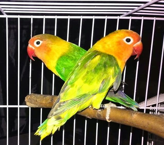 Agapornis-lovebird