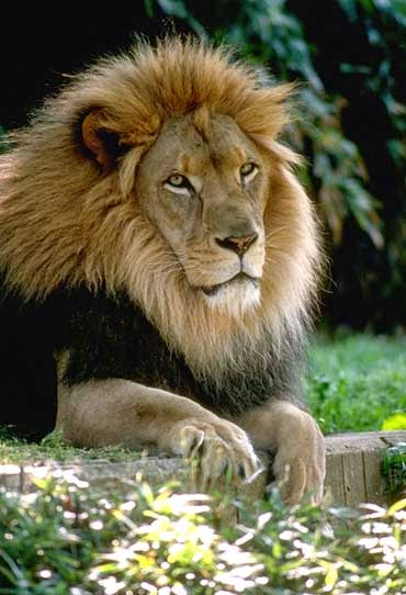 Male Lion at the National Zoo - Washington, DC (Credit: Jessie Cohen, NZP photographer) Click to enlarge.
