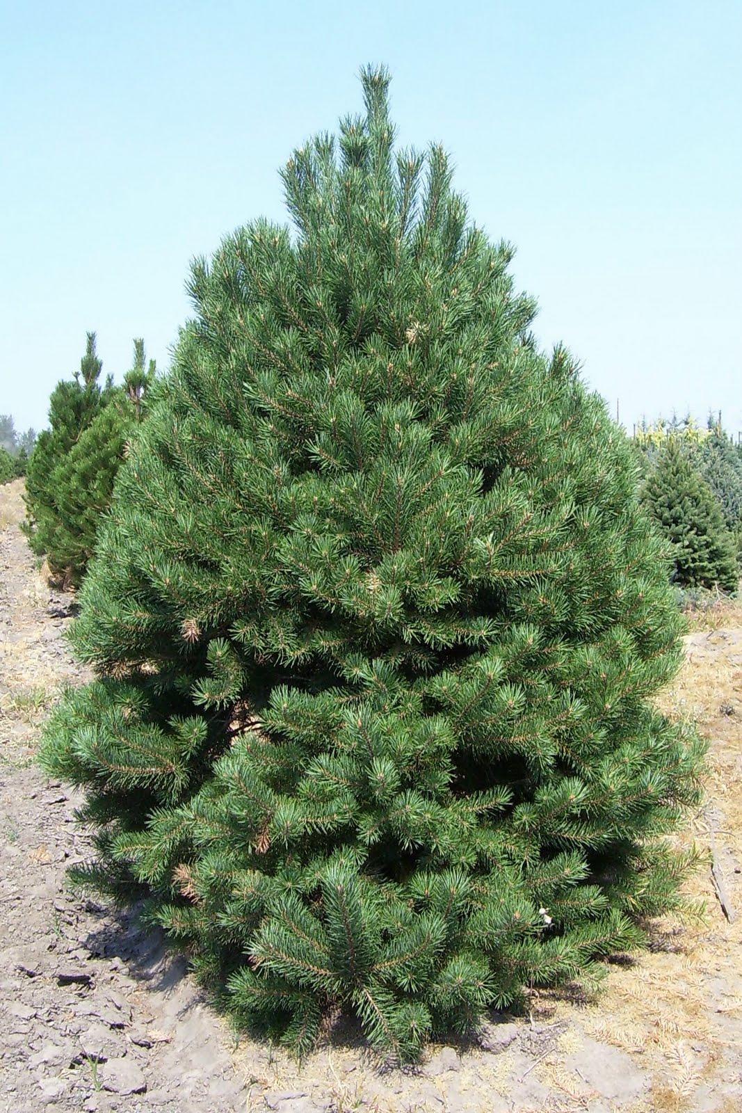 Arte y jardiner a pinos rboles longevos for Arboles ornamentales de jardin