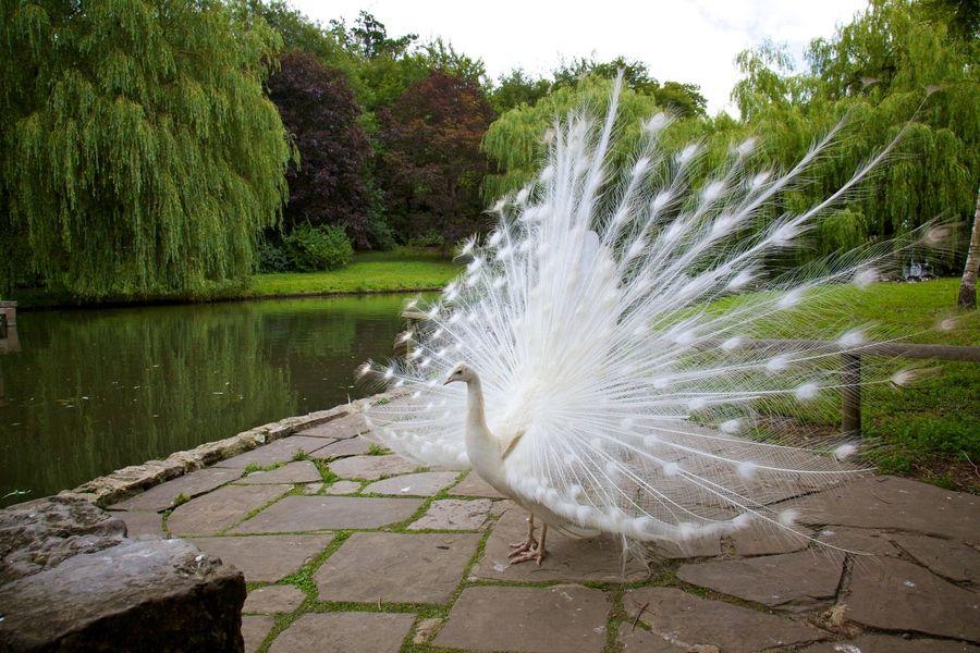 3. Albino Peacock by Ihsan Yahya