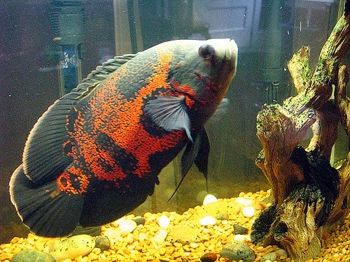 Pemijahan Ikan Oscar ~ Informasi Dunia Air