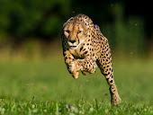 Guepardo atinge 101 km/h e quebra recorde mundial de velocidade
