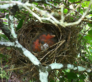 Baby Cardinals 2012. Found a nest full of eggs one spring morning.