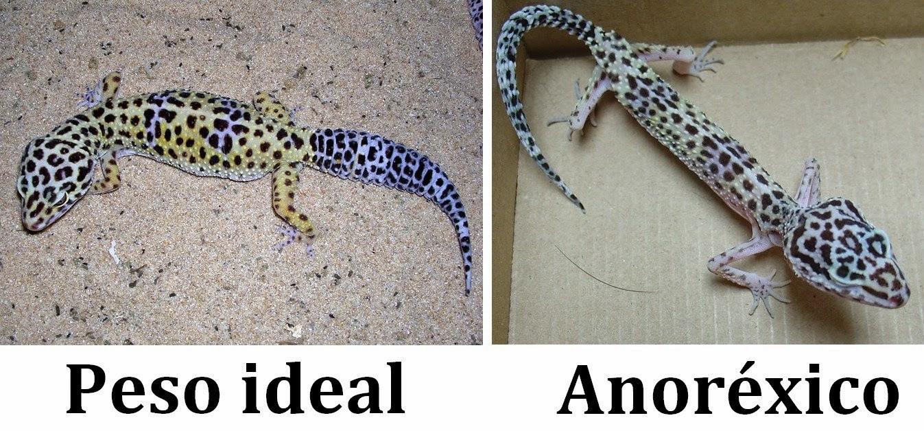 Excelente Gecko Leopardo Anatomía Adorno - Anatomía de Las ...