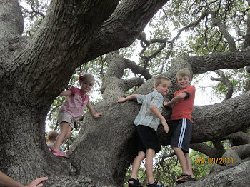 Climbing old oak trees