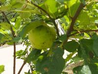 ニュートンのリンゴが初実り。