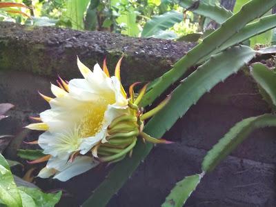 Bunga Pohon Buah Naga Yang Mekar Sempurna