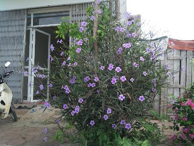 Hoa thạch thảo tím05