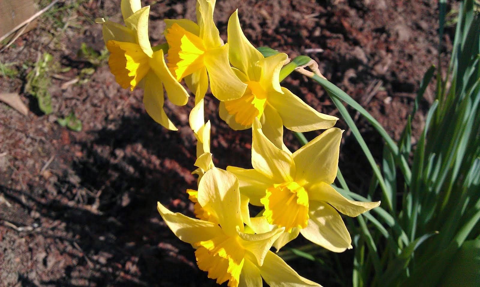 Daffodils in Sunshine!