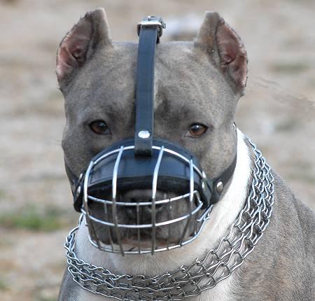 american pit bull terrier dog killer face american pit bull terrier
