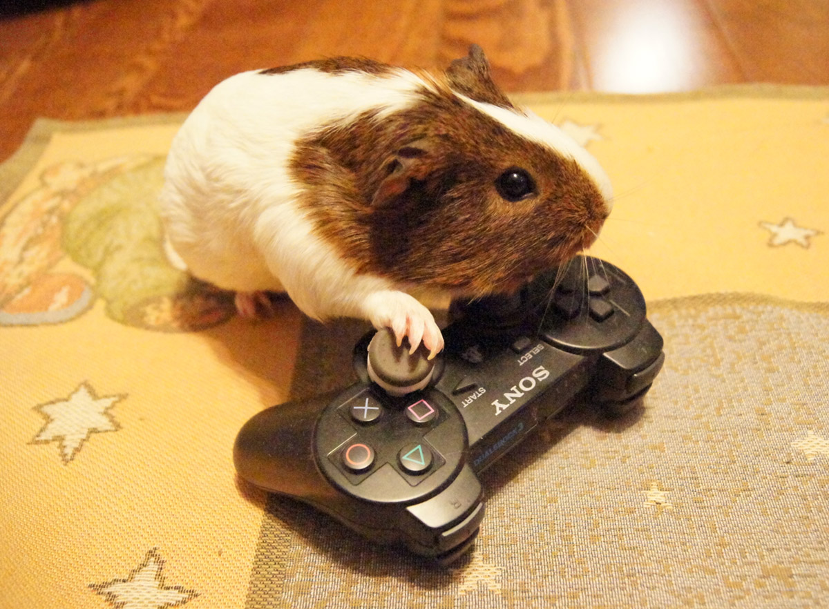 guinea pig diary she is playing video game