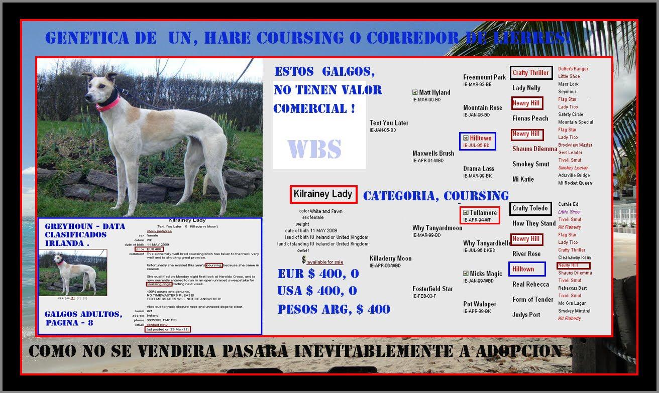 PEDIGREE O GENETICA DE UN GALGO IRLANDES, CATEGORIA '' HARE COURSING '', DE 20 MESES.