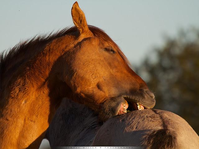 Konik [Equus caballus caballus]