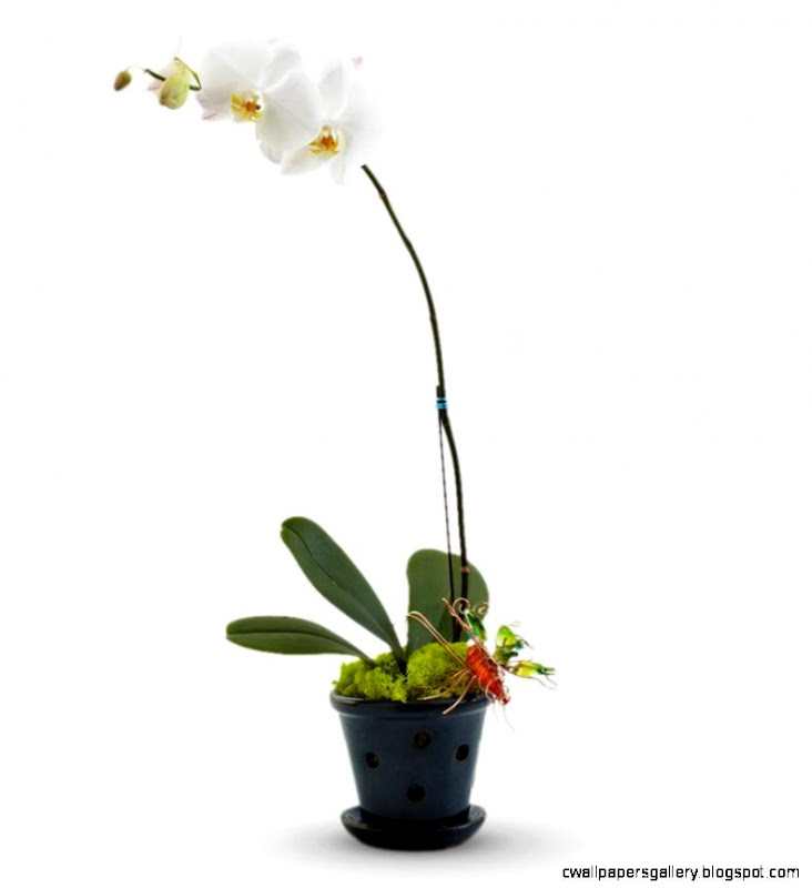 White Orchid Plant  Avas Flowers