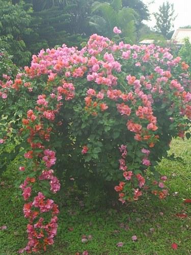 Entretien taille arrosage du bougainvillier flore de l Entretien jardin ile de la reunion