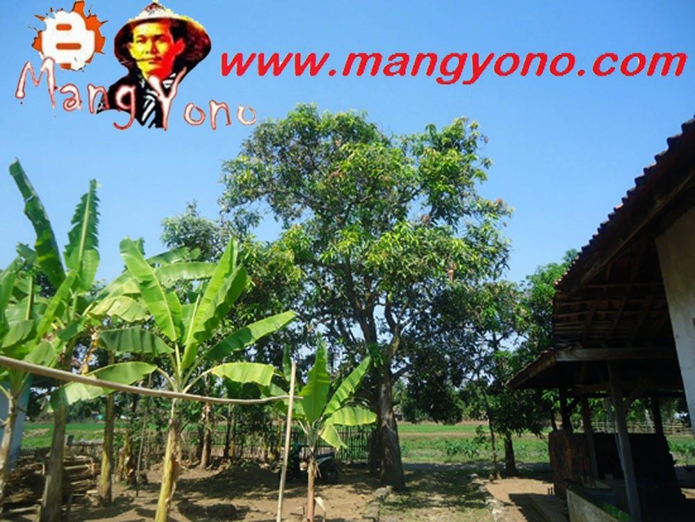 Ini nih pohon mangga sayaIni nih pohon mangga saya