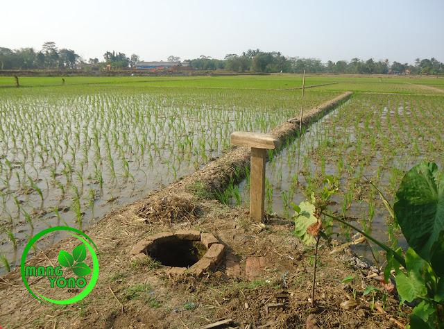 FOTO : Tanaman padi saya yang terkena sundep hanya satu petak.