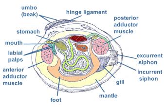 Anatomy of a razor clam