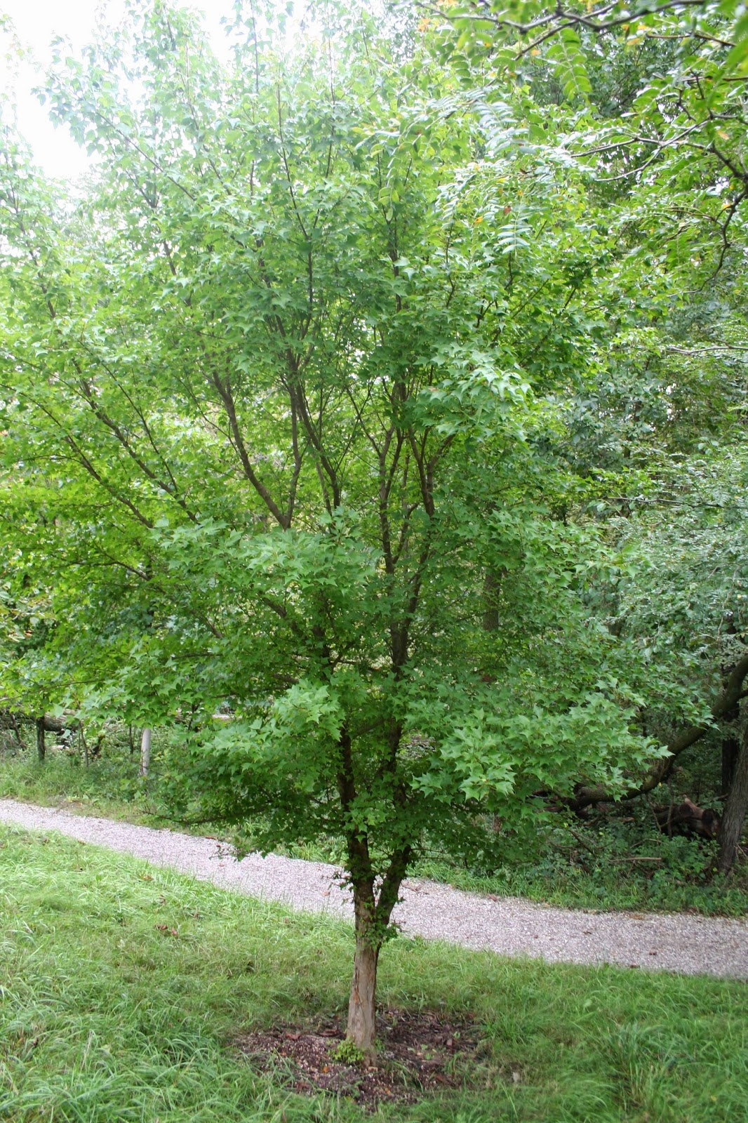 Beneficial Landscapes Great Trees For Small Landscapes