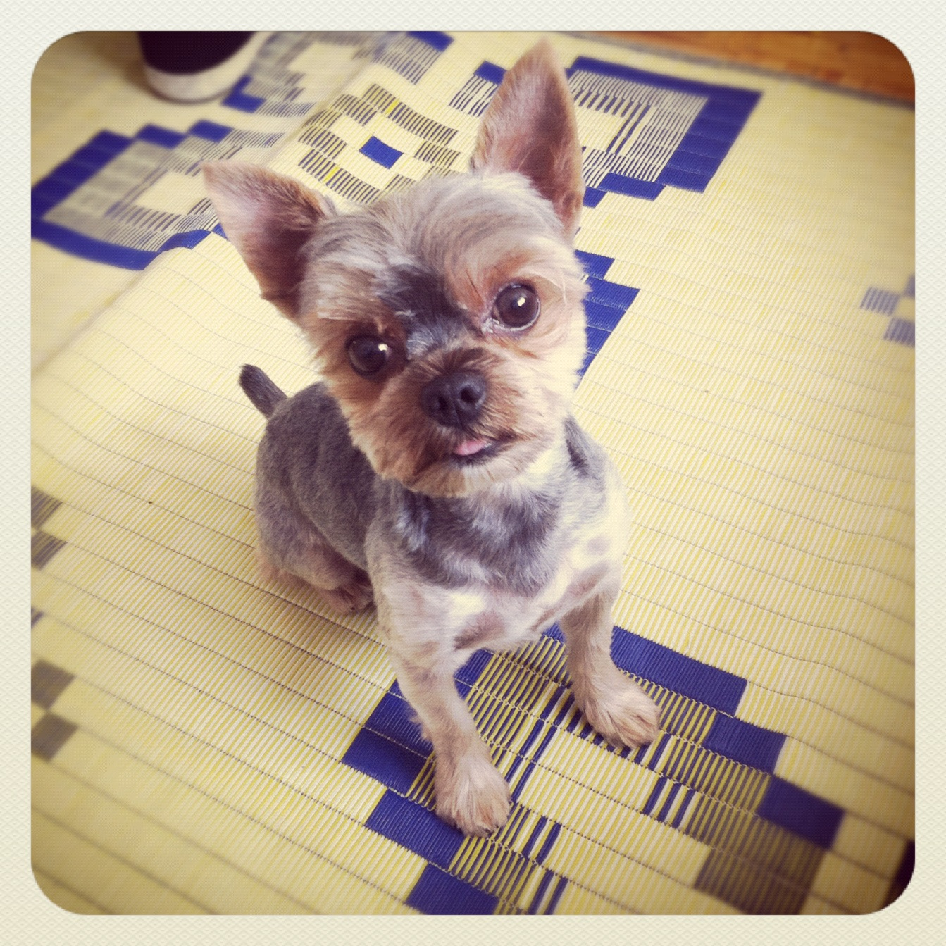 Short Haired Yorkie With Bow - Viewing Gallery