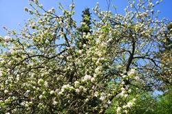 Der alte Apfelbaum...