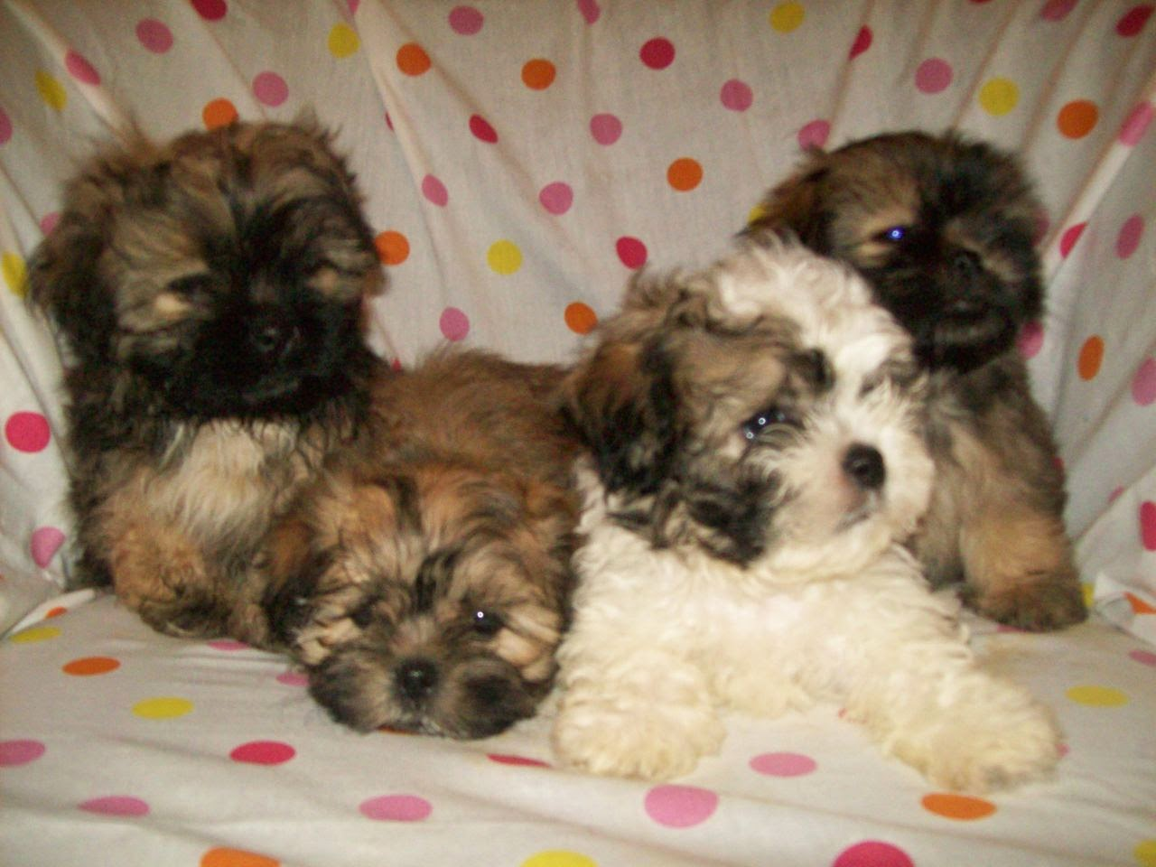 Shichon puppies for sale in kentucky - Shichon Puppies
