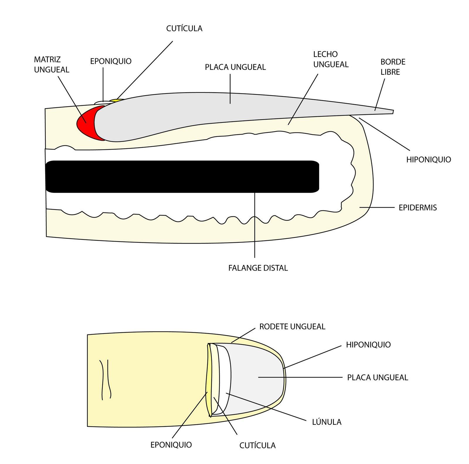 el moderno prometeo: Anexos cutáneos: anatomía de la uña.