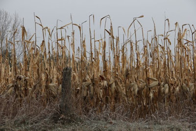 late season corn