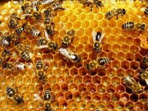 propolis dalam sarang lebah