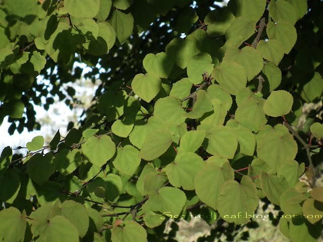 Cercidiphyllum japonicum - Katsura heart - shaped foliage