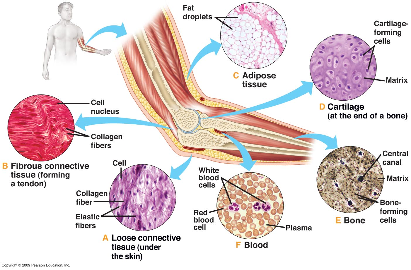 Diagram Of Tissues In The Body - Information Of Wiring Diagram •