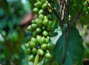 pemangkasan-pada-tanaman-kopi.jpg