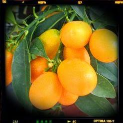 Kamkat Meyvesi Nasıl Yenir,Kamkat Meyvesinin Fiyatı