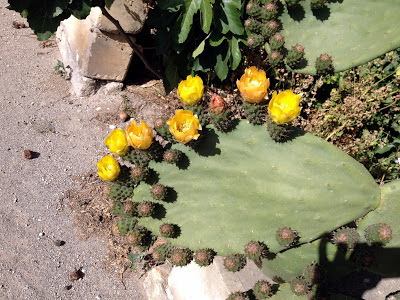 malta flower prickly pear