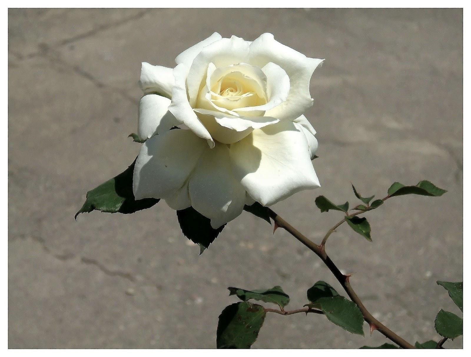 Rosas blancas de unos jardines motril naturales y frescas - Jardines con rosas ...