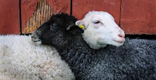 agnellino bianco e agnellino nero che sorridono