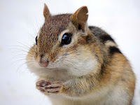 Chipmunk has DNA