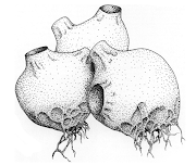 Plate 1. Artistic representation of the zoosporangium stage of the fungus .