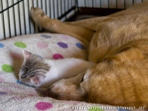 子猫と犬のお昼寝 画像