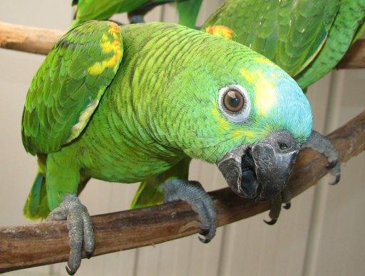 Subhanallah; Burung Nuri Bisa Menghafal Ayat Alquran, Iqamat dan Berzikir, ini Bukti Videonya