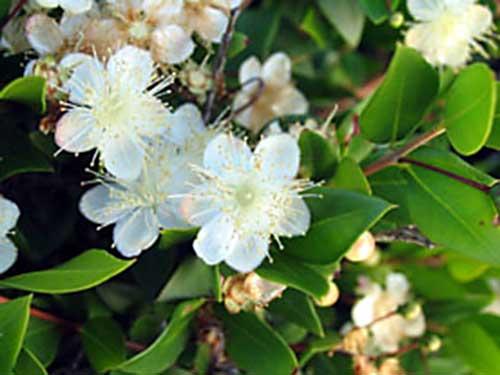 Piante e fiori mirto for Fiori bianchi profumati
