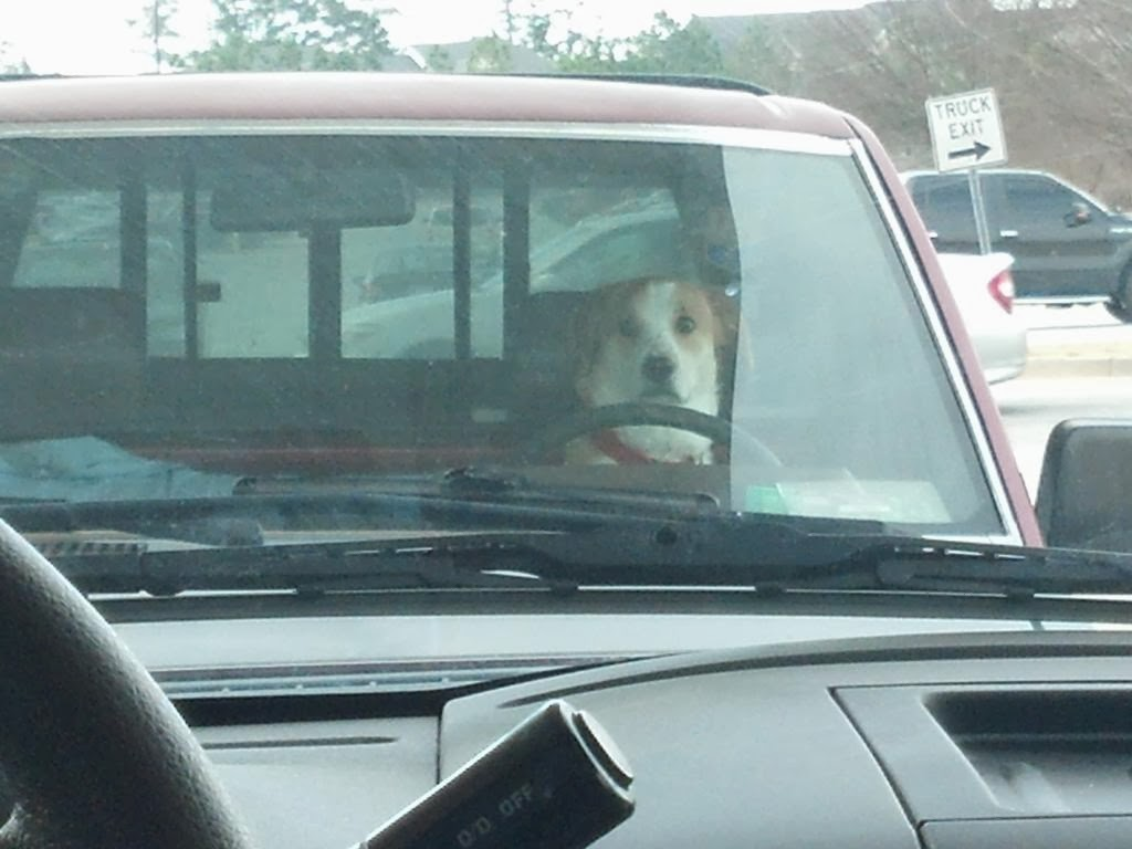 Cute dogs - part 7 (50 pics), dog sits in the car in the driver seat